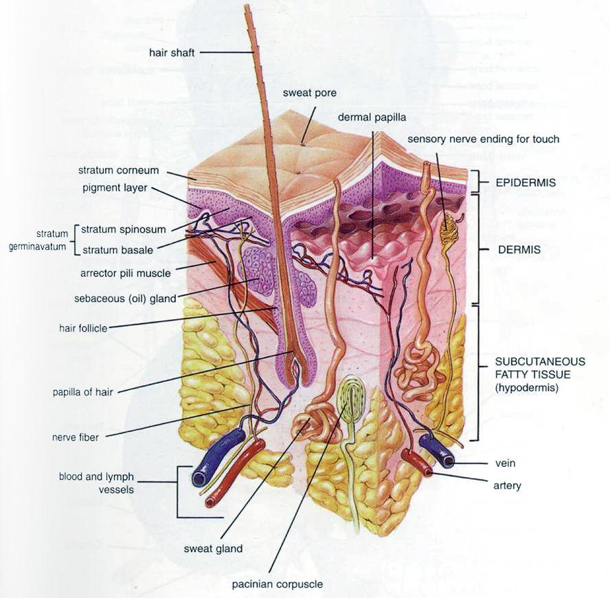 biology diagrams   national laser institutehi res image